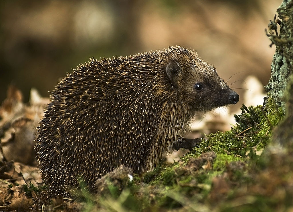 1024px-West_European_Hedgehog
