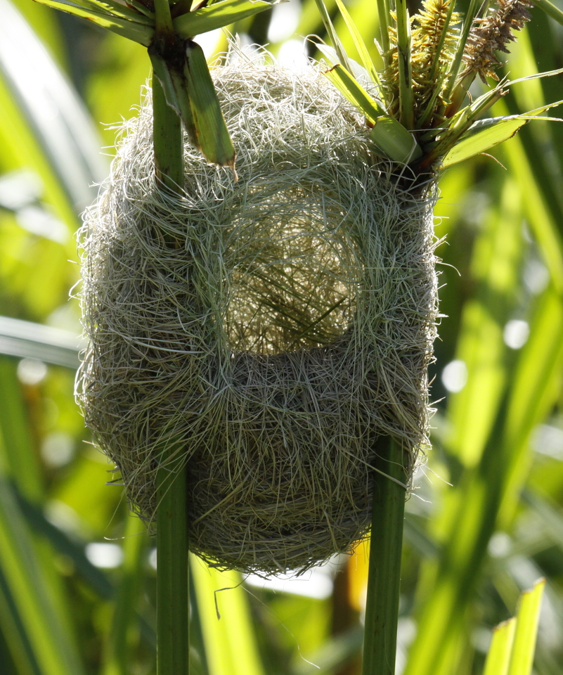 Gniazdo brunatniczki, fot.  Derek Keats CC BY 2.0