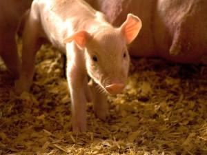 Świnie dorównują inteligencją 3-letniemu dziecku. Zdj.  Ariel Waldman https://www.flickr.com/photos/ariels_photos/2986028657/, CC BY-SA 2.0