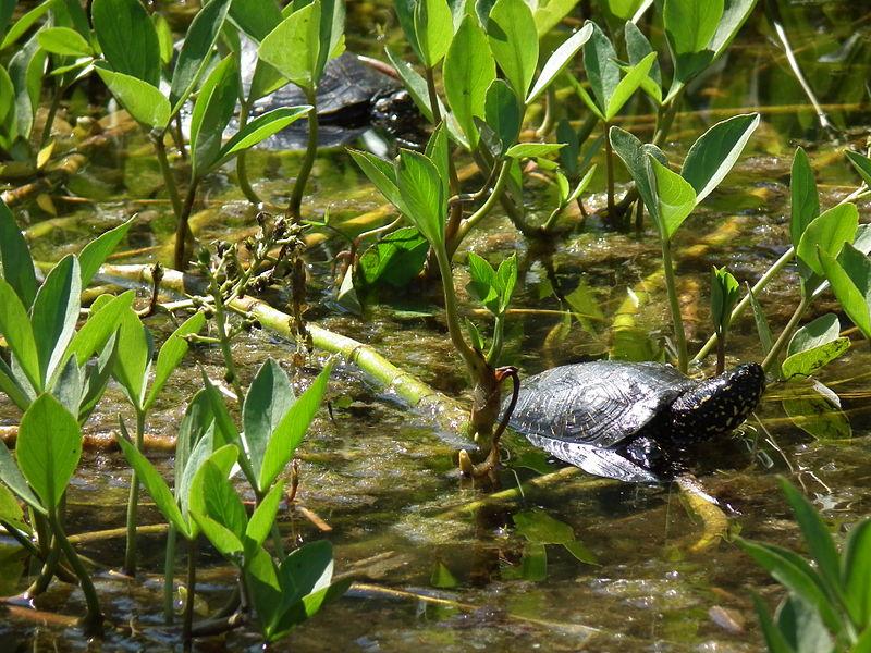 Żółw błotny. Fot. 4028mdk09 CC BY-SA 3.0