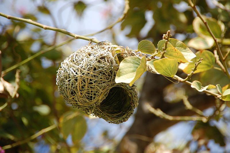 Gniazdo ptaka z rodziny wikłaczy, fot. Kjeuring CC BY 3.0