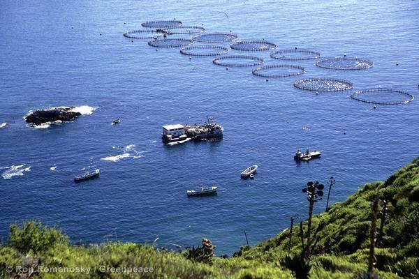 Akwakultury-czyli-farmy-rybne-wbrew-pozorom-nie-są-dobrym-rozwiązaniem-w-sprawie-spadającej-populacji-ryb-morskich.-Źródło-Greenpeace
