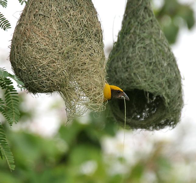 Samce wikłacza złotogłowego (Ploceus philippinus) na gniazdach uplecionych z traw. fot. J.M.Garg CC by 3.0