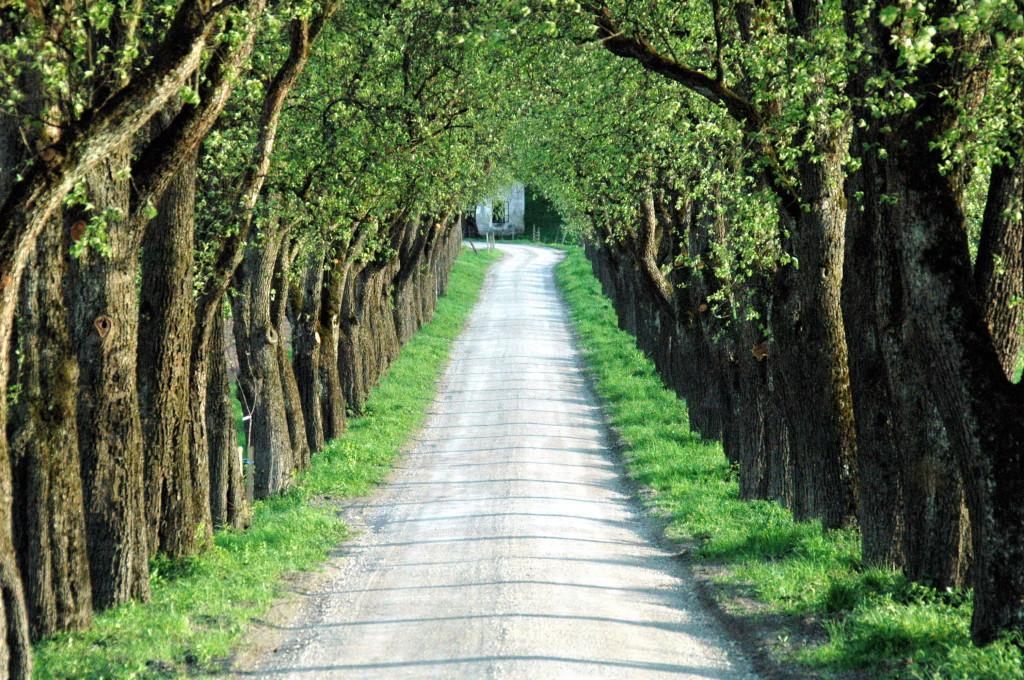 Aleja przydrożnych drzew