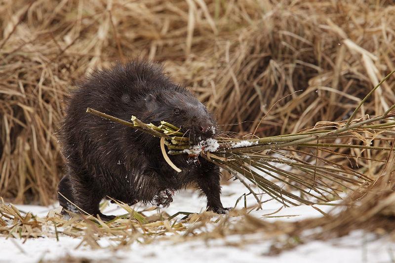 Bobry gromadzą w norach pożywienie na zimę dla dzieci. Same w tym czasie prawie nie jedzą. Aut. Jacek Zięba. Źródło Wikimedia. CC 3.0