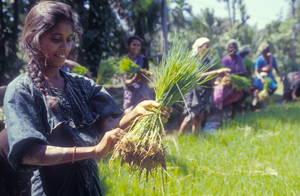 Drobna rolniczka przygotowuje do zasadzenia sadzonki ryży w Indiach. Aut. Joerg Boethling. Źródło FAO
