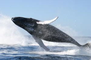 Płetwal błękitny to największe żyjące na Ziemi zwierzę, długość jego ciała dochodzi do 30 metrów,