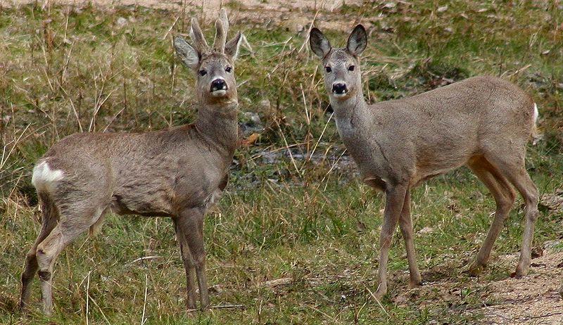 Kozioł i koza sarny w okresie godowym muszą się sporo nabiegać. Aut. Nickshanks. Źródło Wikimedia. CC-BY-SA-3.0-migrated