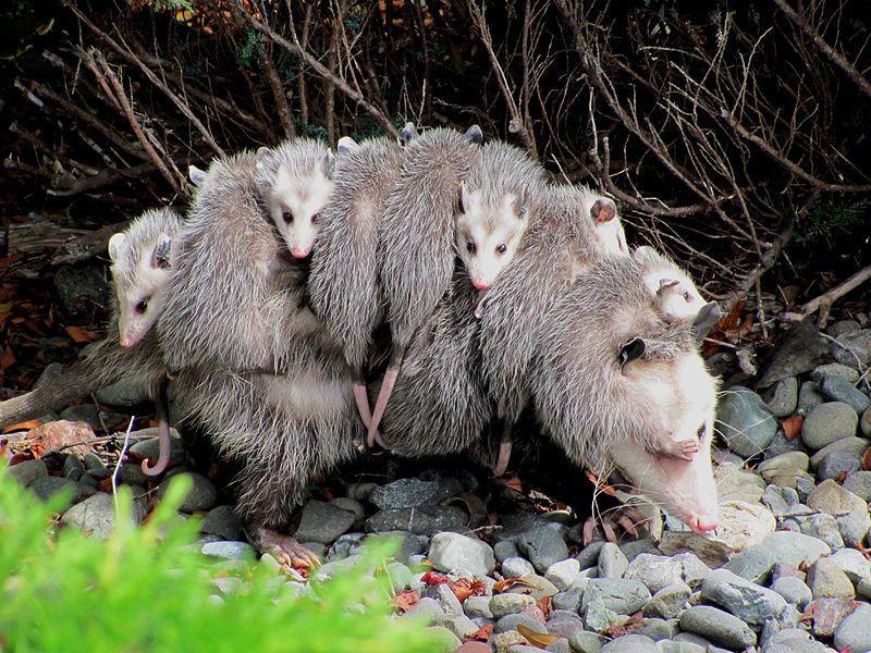 Oposowa mama z dziećmi na grzbiecie. Aut. Specialjake. Źródło Wikimedia. CC-BY-SA-3.0