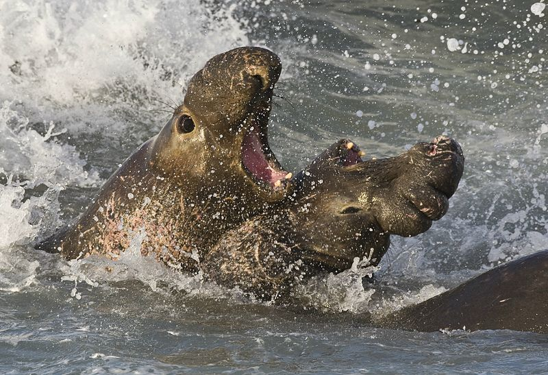 Słonie morskie podczas walki. Aut. Michael Mike L. Baird. Źródło Wikimedia. CC 2.0