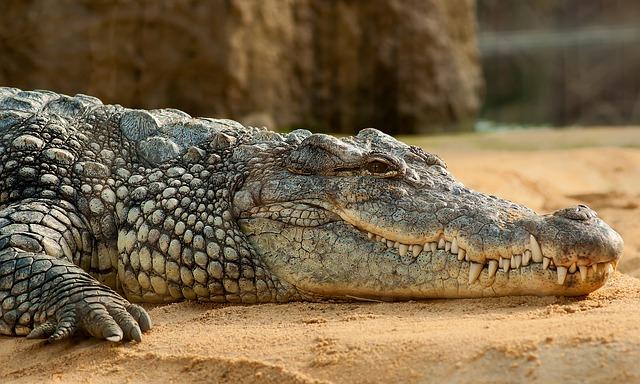 Samice krokodyli to troskliwe mamy, które przez pierwszy okres po wylęgu nie opuszczają siedzącego na brzegu potomstwa. Aut. miniformat65. Źródło Pixabay. CC0 dp