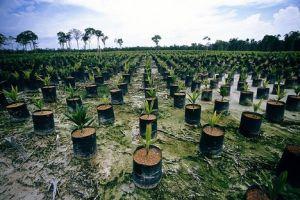 Tak wyglądają plantacje palmy oleistej w Indonezji, z której produkuję się najbardziej popularny obecnie w przemyśle olej palmowy. Źródło Ekonsument