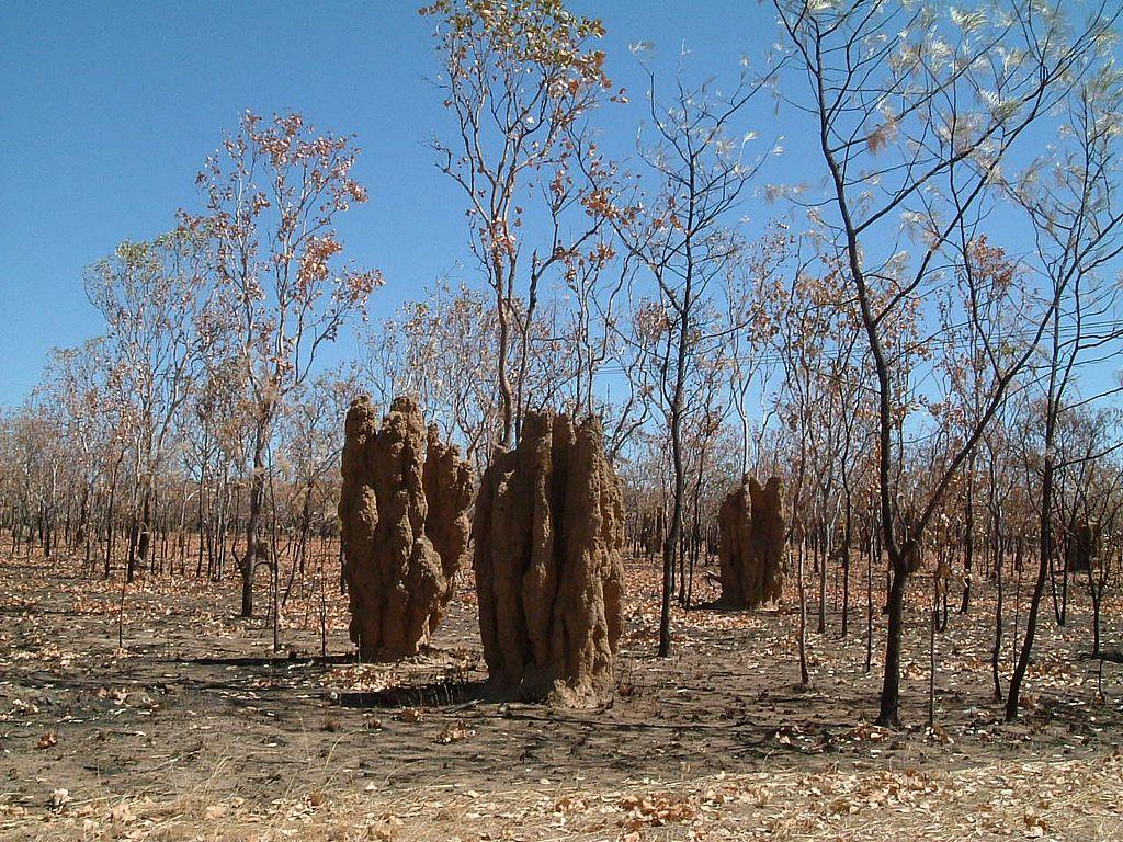Budowle termitów na północy Australii, fot. Kaptain Kobold CC BY 2.0