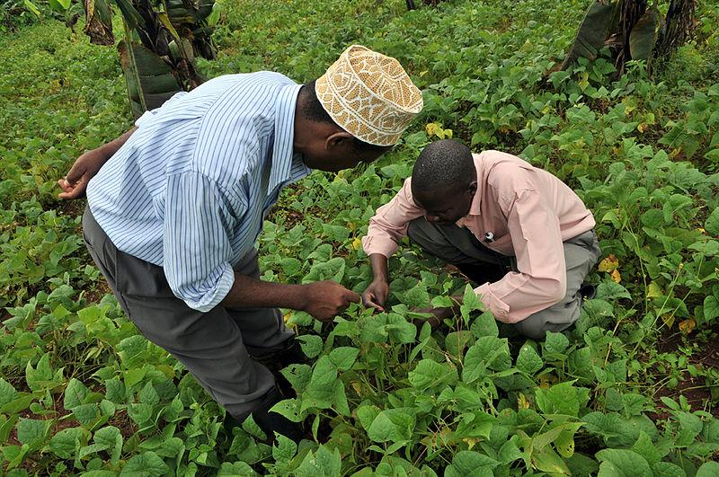 Zbiór fasoli w Ugandzie. Aut.  Neil Palmer. Źródło Wikipedia. CC 2.0