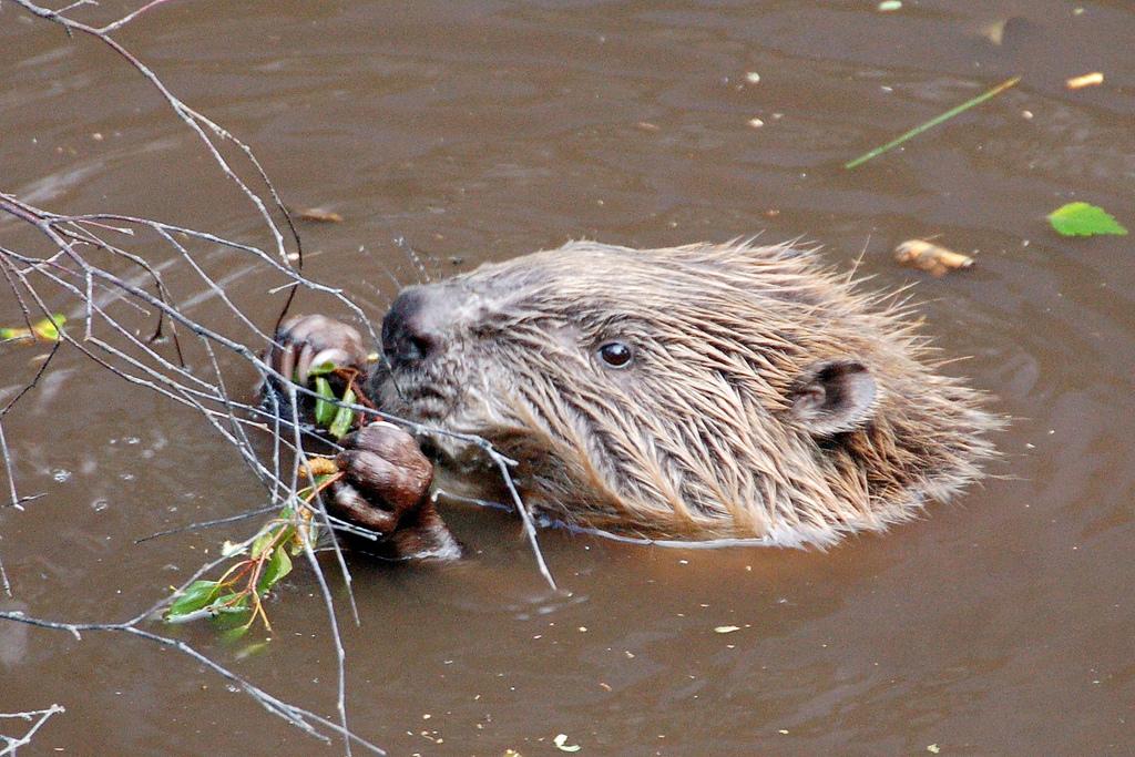 Bóbr europejski  zostały ponownie wprowadzone do środowiska naturalnego w Szkocji, Program reintrodukcji - www.scottishbeavers.org.uk/, fot. Paul Stevenson CC by 2.0