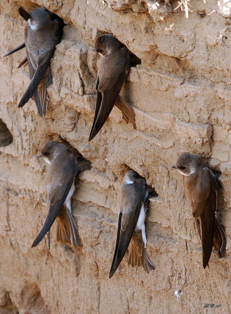 Jaskółki brzegówki buduką gniazda w ..... fot. Dûrzan cîrano CC BY 2.0