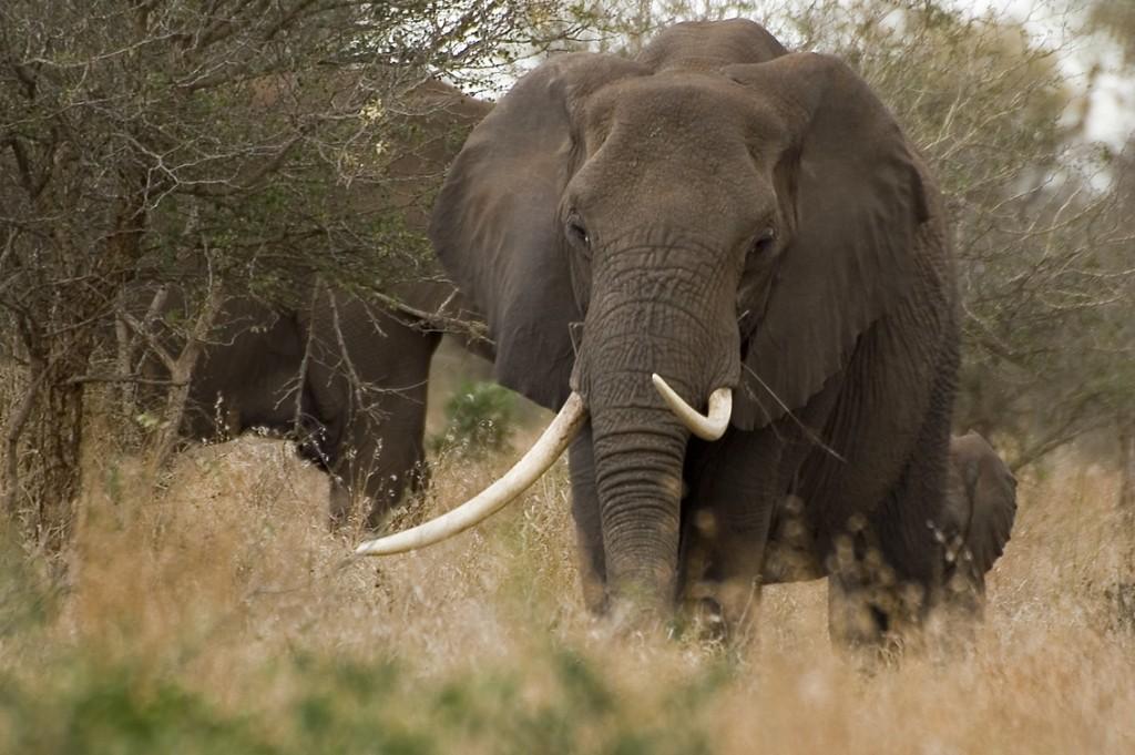 Zarówno samice jak i samce słoni  afrykańskich mają ciosy (tzw. kły), które są z reguły dłuższe i grubsze niż u słoni azjatyckich. Fot. Arno Meintjes CC BY-NC-SA 2.0