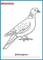 kolorowanka - gołąb grzywacz