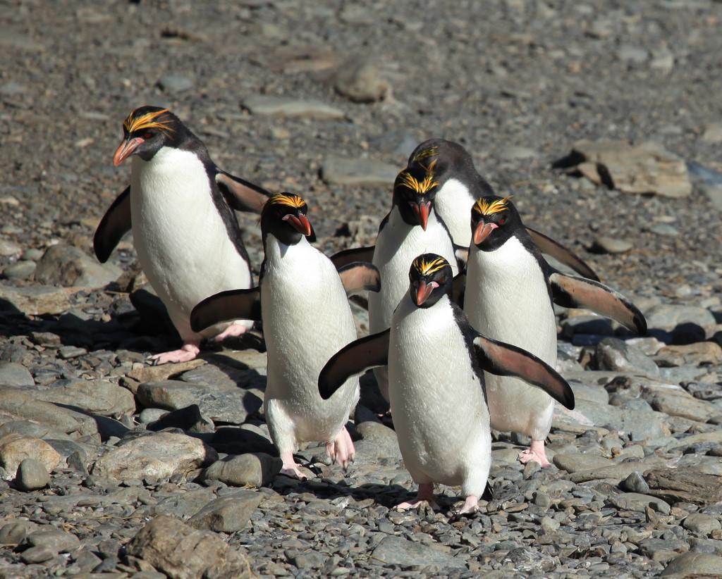 Pingwin złotoczuby, fot.  Liam Quinn CC BY-SA 2.0