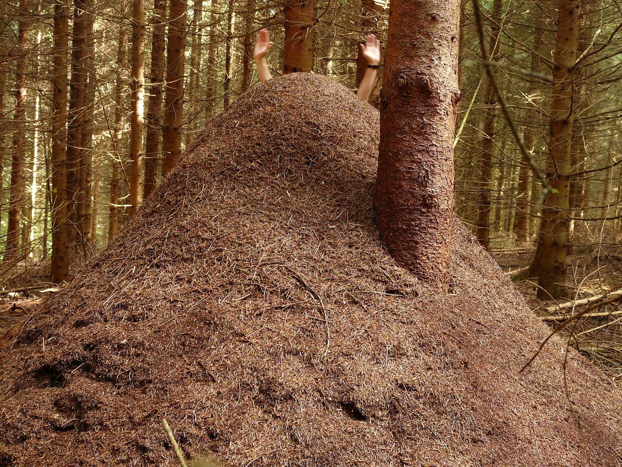 Mrowisko mrówki rudnicy, fot. Hans Braxmeier DP