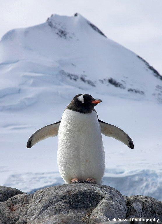 Pingwin białobrewy, fot. Nick Russill CC BY-NC-SA 2.0