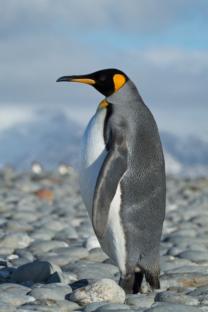 pingwin_królewski