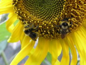 Pszczoły miodne na słoneczniku. Fot. archiwum Źródeł