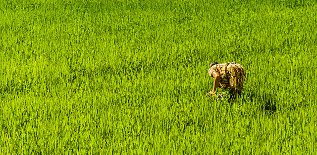 Kobiety stanowią ponad 50% siły roboczej zaangażowanej w uprawę ryżu w Azji. Na zdjęciu pole ryżowe, Sri Lanka. Fot. Aitor Garcia Viñas, CC BY-NC-ND 2.0