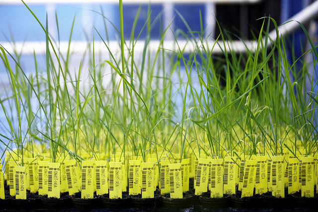 CropDesign - Auf der Suche nach neuen Genen / Crop Design - The fine art of gene discovery