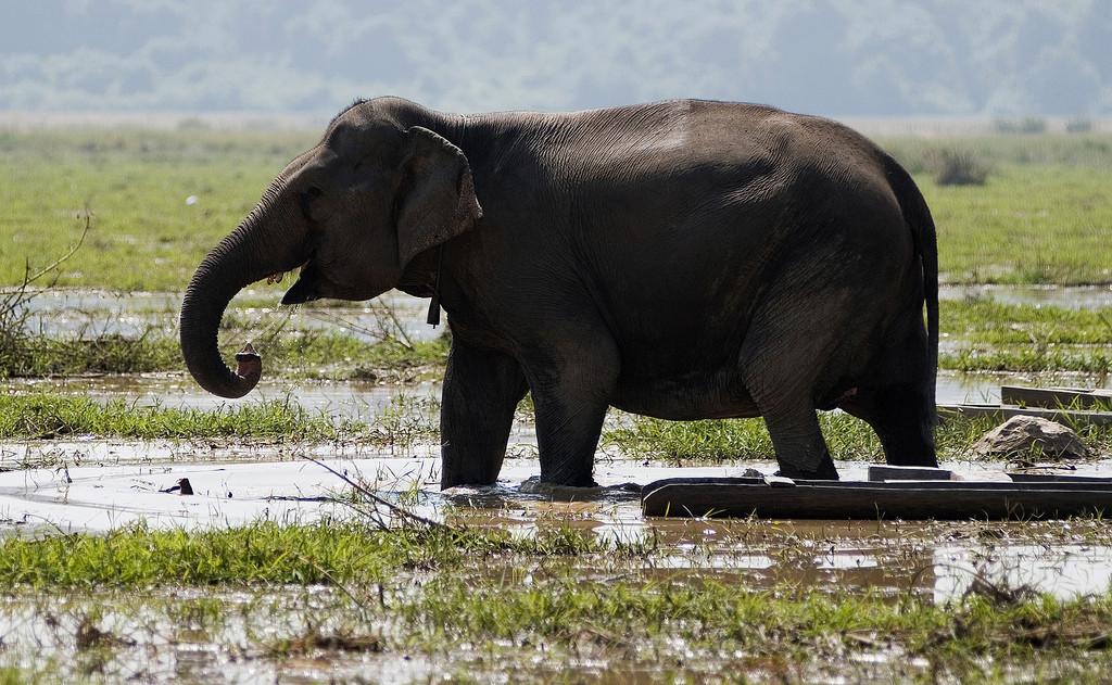 Słoń indyjski, Laos. Fot. Stanislas Fradelizi CC BY-NC-SA 2.0
