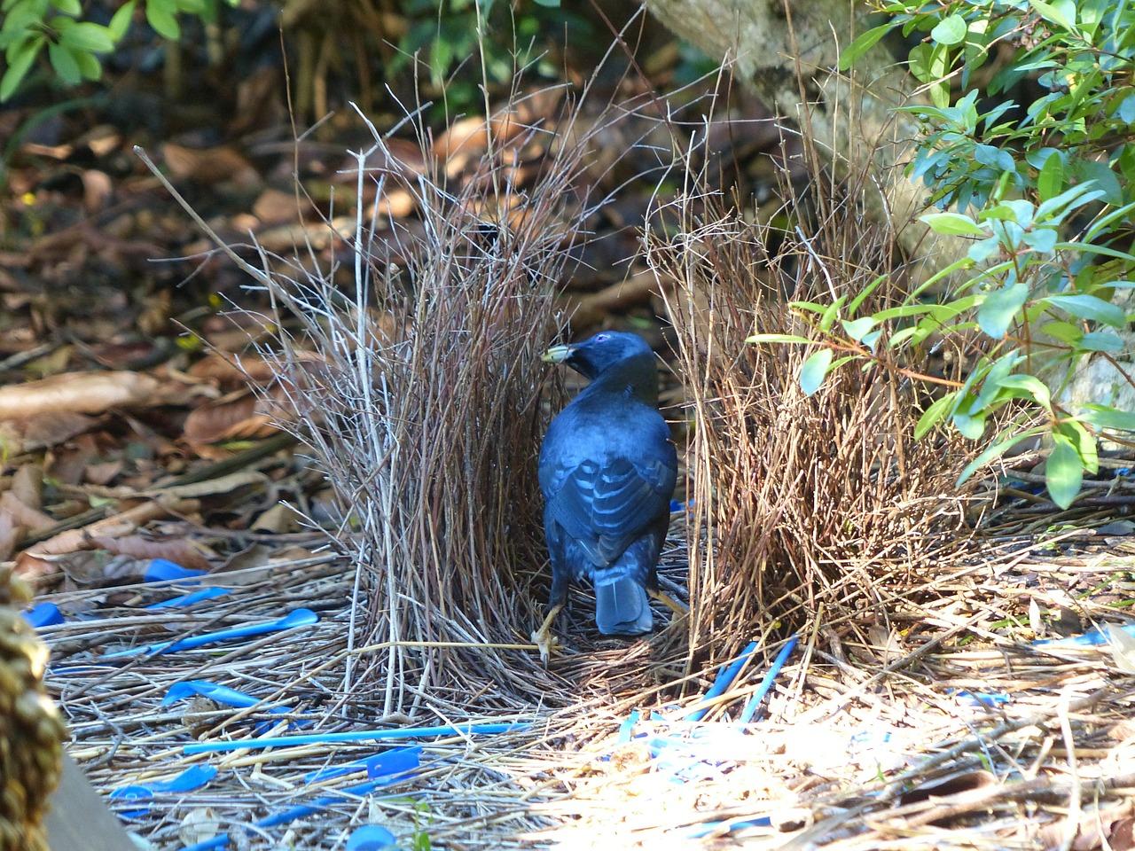 Altanniki (Ptilonorhynchidae) – rodzina ptaków z rzędu wróblowych (Passeriformes), najbliżej spokrewniona z korołazami (Climacteridae). Występują w Nowej Gwinei i Australii. Większość żyje na terenach leśnych, niektóre na otwartych obszarach buszu. Żywią się przede wszystkim owocami. Są to ptaki średniej wielkości o mocnych dziobach. Upierzenie ma zwykle kolorystykę płowobrązową, zieloną lub szarą; u samców połowy z gatunków jest jaskrawsze niż u samicy. W porze godów samce większości gatunków budują strojne altanki służące wabieniu samic. Właściwe gniazdo ma czarkowaty kształt i jest budowane tylko przez samicę. W lęgu 1–2 jaja, wysiadywane przez 19–24 dni. Po około 18–21 dniach pisklęta opuszczają gniazd, fot. picman2 DP