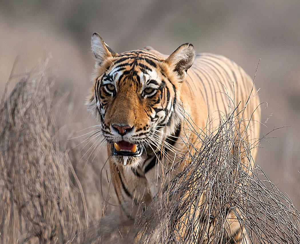 Samica tygrysa bengalskiego z nadajnikiem radiowym na szyi w Ranthambore Tiger Reserve, Radżastan. Fot. Koshy Koshy CC BY 2.0
