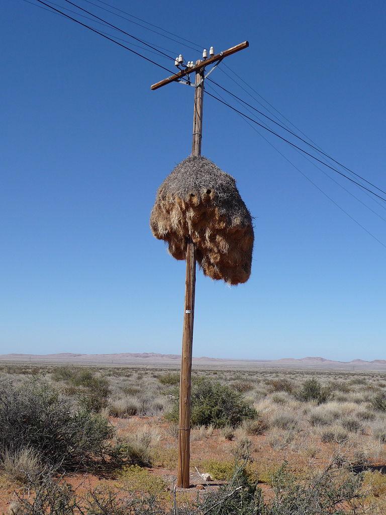 Gniazdo tkacza towarzyskiego (Philetairus Socius) na słupie telefonicznym w RPA