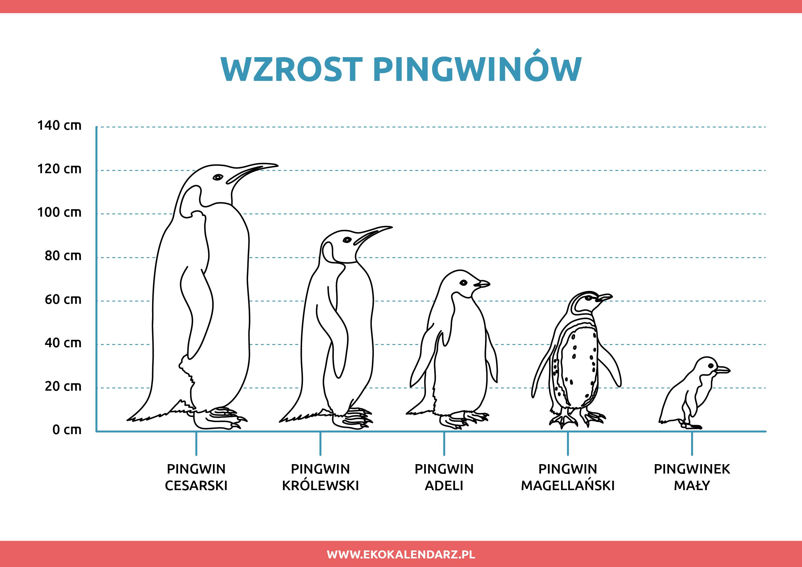 wzrost pingwinów