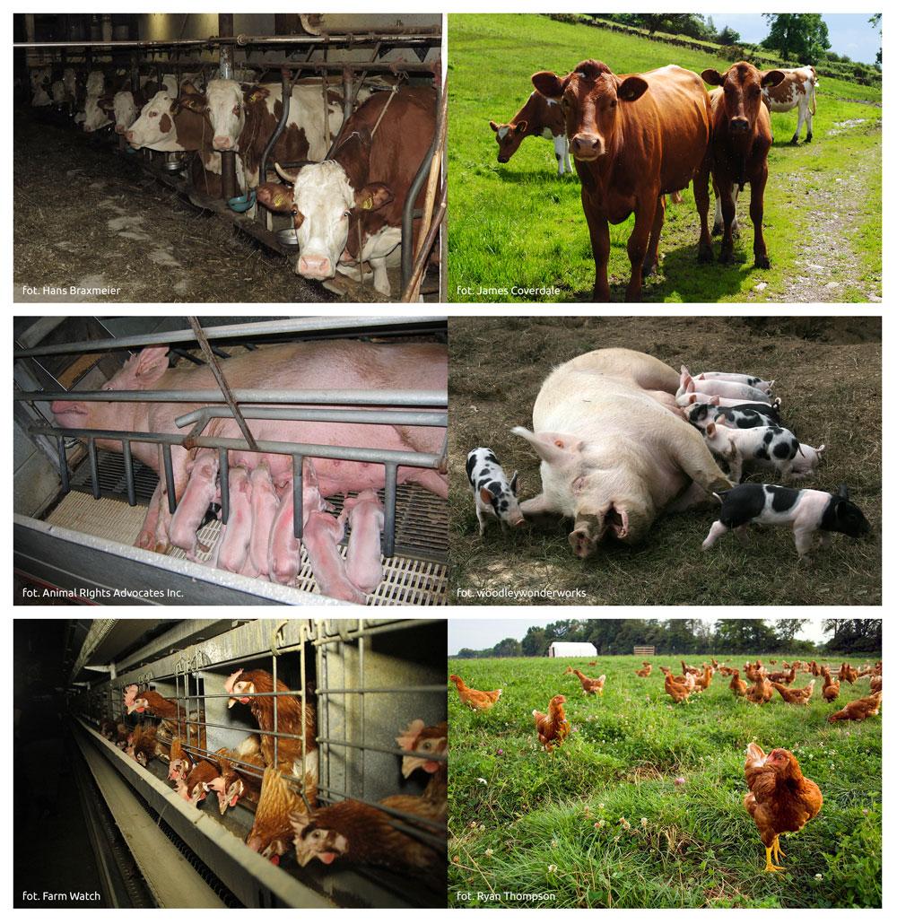 Różnica pomiędzy warunkami hodowli przemysłowej a naturalnymi warunkami życia zwierząt.